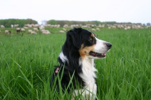 Der Border Collie